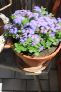 Gesunde Erbsen Schwindel Blumen2